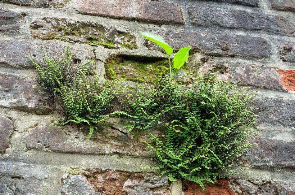 Verplaatste steenbreekvaren op de stadsmuur van Hattem (Foto Martin Heinen)