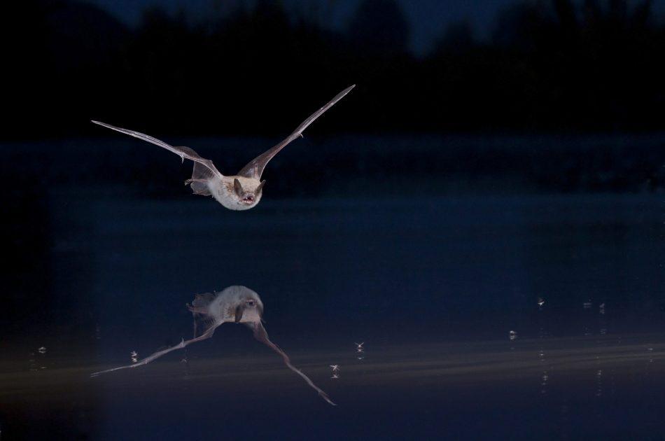 Meervleermuis (© Theo Douma)