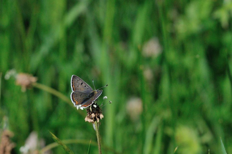 In het Bergerbos is een populatie van bruine vuurvlinder aanwezig; op de Eltenberg mogelijk niet meer