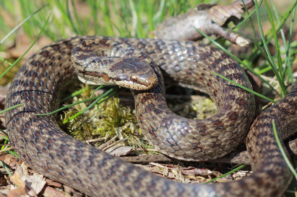 In het Bergerbos is een populatie van gladde slang aanwezig; op de Eltenberg mogelijk niet meer
