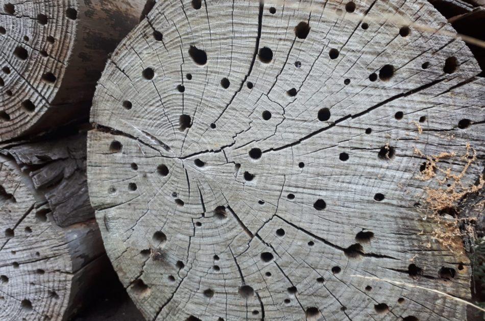 Een boomstam waarin gaatjes van verschillende grootte zijn geboord is geschikt als voortplantingsplaats voor wilde bijen. Foto: Martin Heinen, Ecogroen.