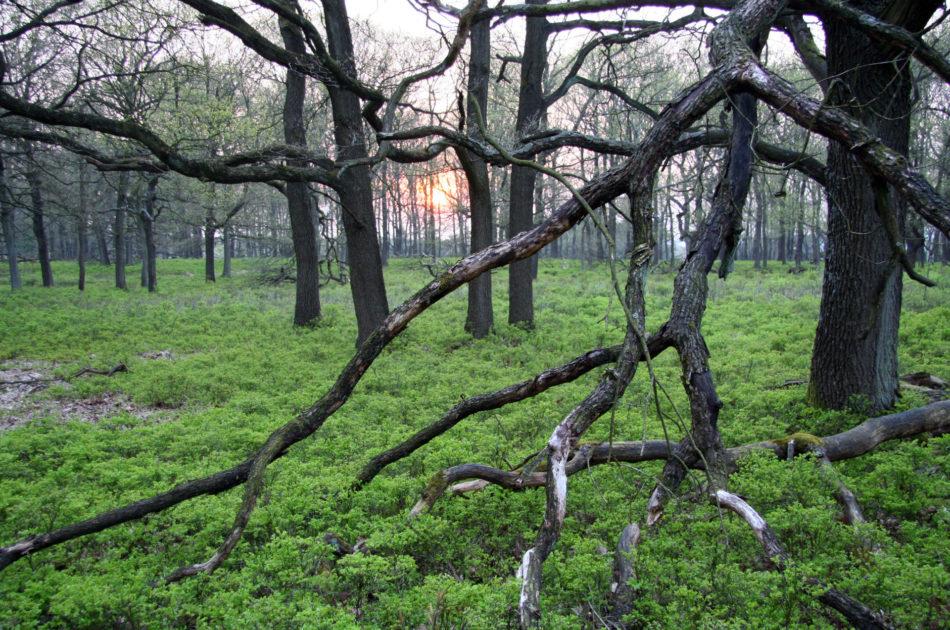 De begrenzing van het NNN overlapt grotendeels met Natura 2000-gebied, dat geldt ook voor de Veluwe. (foto Ecogroen)