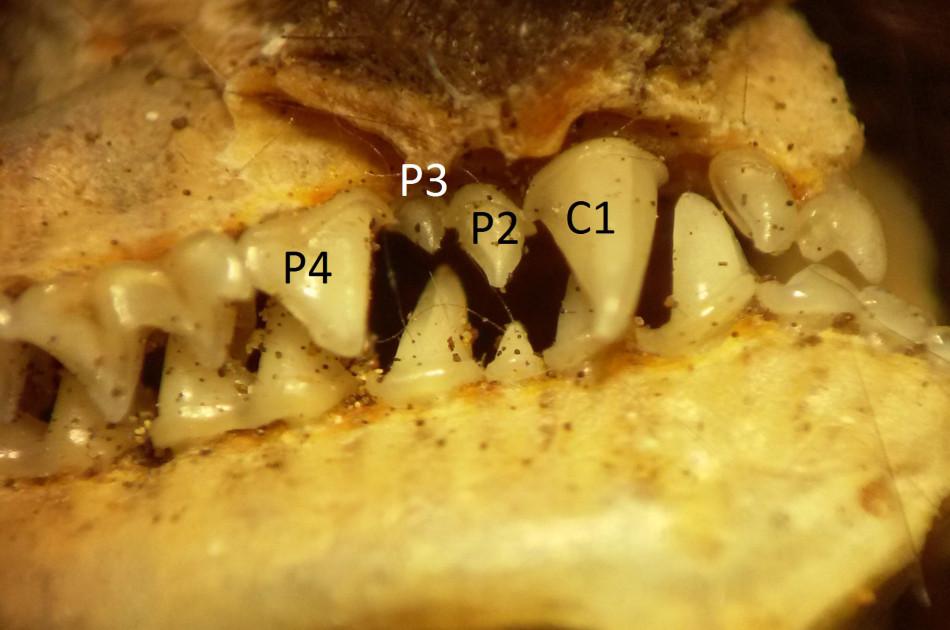 gebitsformule: bij de meer algemene dwergvleermuizen volgt in de bovenkaak achter de Canine (hoektand)(C1) eerst een kleine premolaar(kies) (P3) en dan een grote (P4). Hier volgt na C1 eest P2, wat wijst op een Myotis soort.