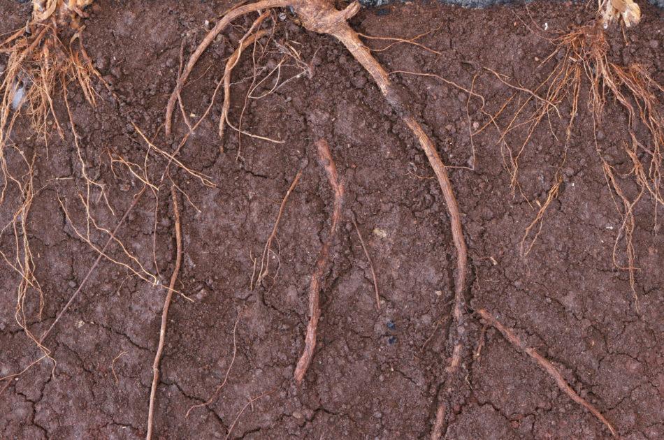 Een gezonde bodem kenmerkt zich door een diepe doorworteling