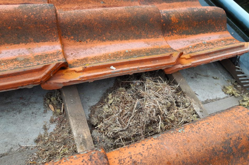 Een nest van huismus. Huismussen nestelen vaak op het dakbeschot, onder de eerste of tweede rij dakpannen. Foto: Rutger Olthof