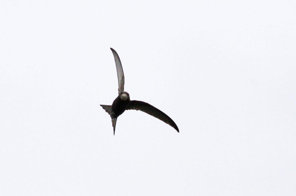 Gierzwaluwen verblijven enkel in Nederland om te broeden. Ze vangen al hun voedsel in volle vlucht en zijn dan goed waar te nemen. Foto: Jan Borst.