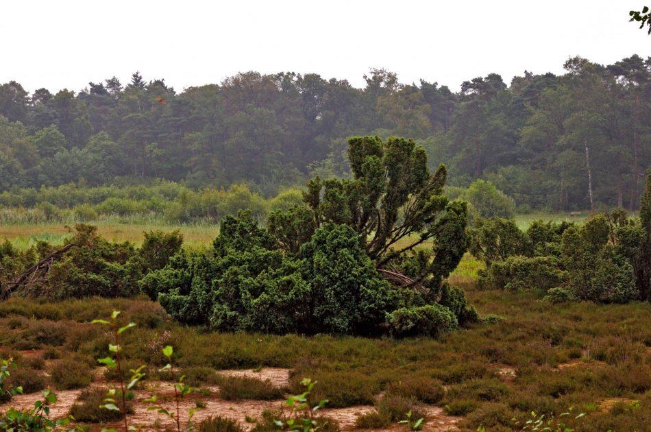 Onderdeel van de PAS-maatregelen op de Sallandse heuvelrug is het plaggen en begrazen van het habitattype Jeneverbesstruweel