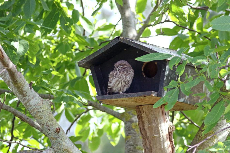 Jonge steenuil voor nestkast