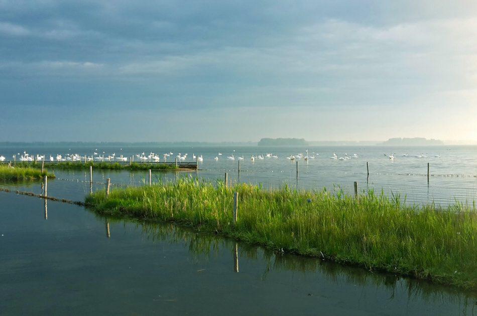 Knobbelzwanen op het Veluwemeer tijdens een rietherstelproject