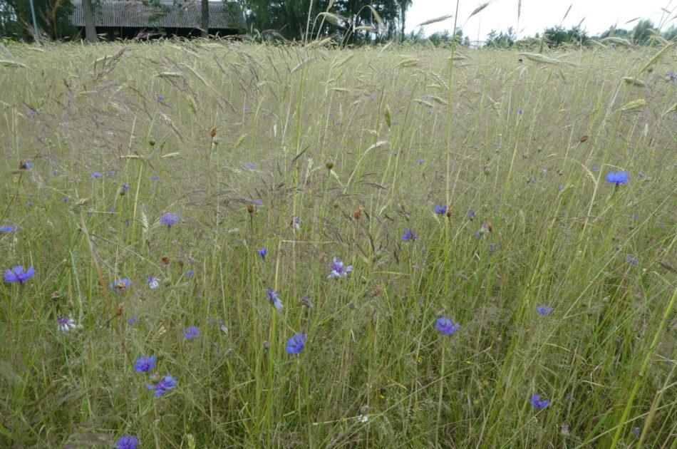Kruidenrijke akkers herbergen een hoge biodiversiteit en maken vaak onderdeel uit van het NNN. (Foto Ecogroen)
