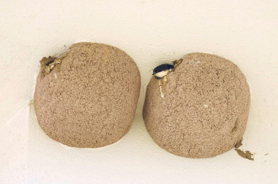 Een van de huiszwaluwen aanwezig in zijn nest. De ingang is door de huiszwaluw wat nauwer gemaakt door deze wat verder dicht te metselen.