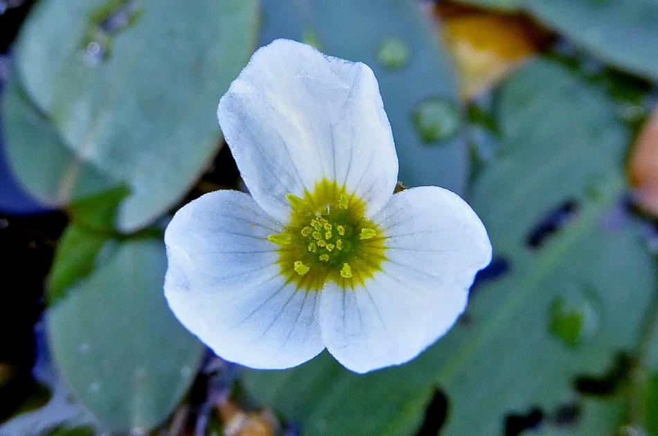 bloem van drijvende waterweegbree
