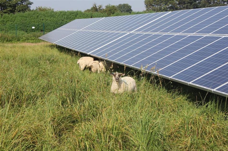Schapenbegrazing bij zonnepanelen
