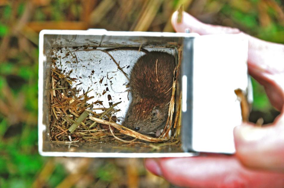 een rosse woelmuis tijdens muizenonderzoek met lifetraps