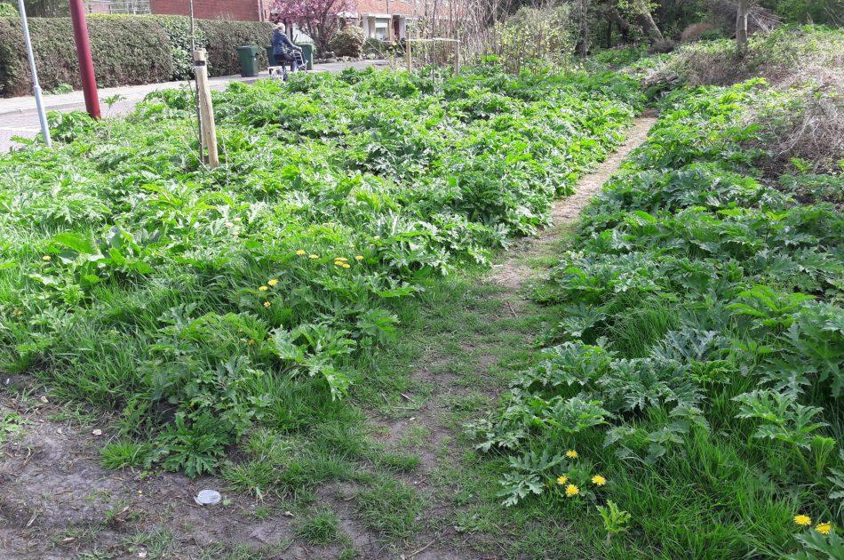 Reuzenberenklauw midden in stedelijk gebied van Heerenveen (Le Roy tuinen). Voorbeeld van een groeiplaats met een potentieel hoge impact op de omgeving.