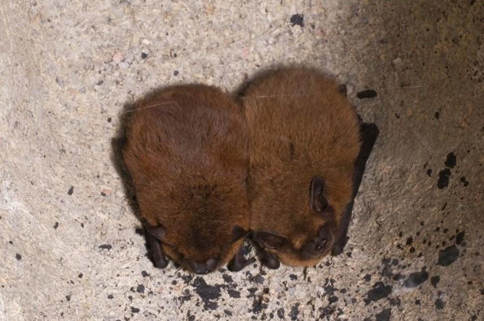 Gewone dwergvleermuis - alle in Nederland voorkomende vleermuizen blijven beschermd onder de Wet natuurbescherming