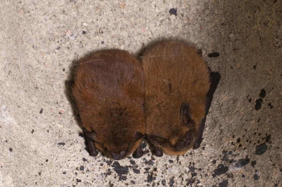 Gewone dwergvleermuis - alle in Nederland voorkomende vleermuizen blijven beschermd
