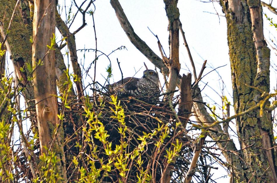 Havik op nest - nu beschermd en vanaf 1 januari 2017 waarschijnlijk nog steeds