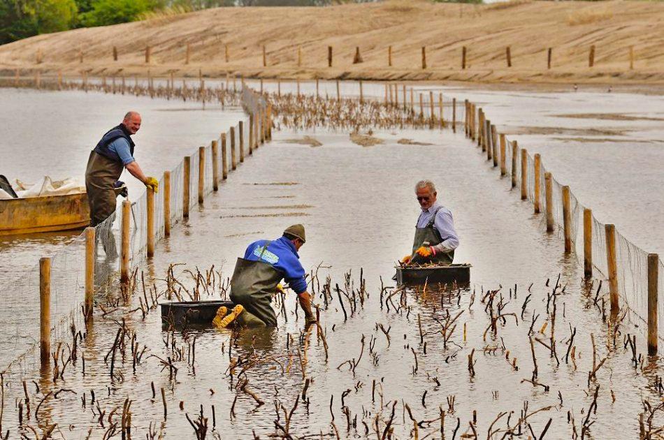 Nieuwe riet aanplant voorzien van ganzenvraat bescherming
