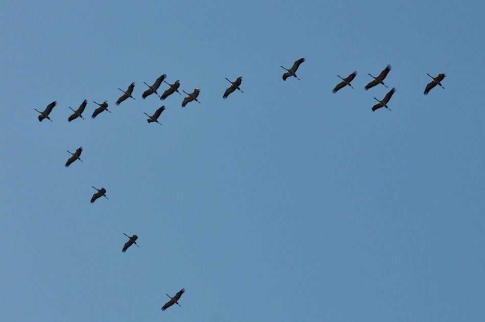 De PAS-maatregelen in de Engbertsdijkvenen geven het leefgebied van de Kraanvogel een positieve impuls
