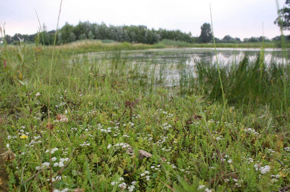 Het beschermde kruipend moerasscherm (Foto Han Brendeke)