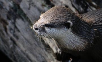 Veiligere oversteek voor otter in Gelderland